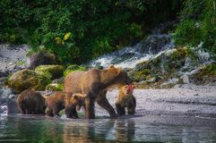 Новички женщины и медведя бурого медведя Камчатки улавливают рыб на озере Kuril Камчатский полуостров, Россия Стоковые Изображения RF