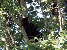 Новички медведя в дереве, Ванкувере, Британской Колумбии Стоковые Изображения RF
