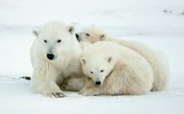 новички медведя приполюсные Приполюсный она-медведь с 2 малыми новичками медведя на снеге стоковое фото rf