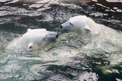 Новички полярного медведя играя в воде Стоковое Изображение RF