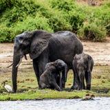 Новички слона Стоковое Фото