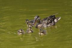 новички duck свое одичалое Стоковое Изображение RF