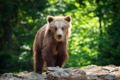 Новичок бурого медведя в лесе весны Стоковое Фото