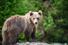 Новичок бурого медведя в лесе весны Стоковое Изображение