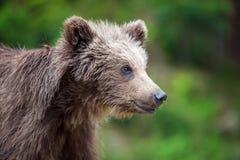 Новичок бурого медведя в лесе весны Стоковые Изображения RF