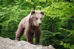 Новичок бурого медведя в лесе весны Стоковые Фотографии RF