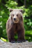 Новичок бурого медведя в лесе весны Стоковые Изображения