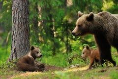 Новичок бурого медведя в лесе с матерью Стоковое Изображение