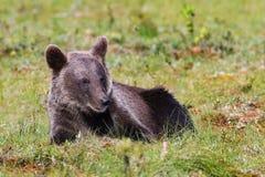Новичок бурого медведя кладя в траву стоковая фотография