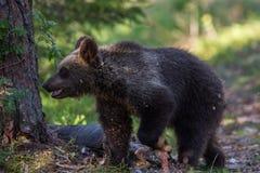 Новичок бурого медведя в лесе Финляндии Стоковая Фотография RF