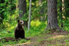 Новичок бурого медведя в лесе Стоковые Фотографии RF