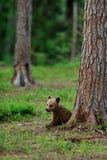 Новичок бурого медведя в лесе Стоковые Изображения