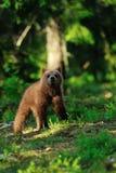 Новичок бурого медведя в лесе Стоковая Фотография