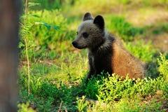 Новичок бурого медведя в лесе Стоковое Изображение