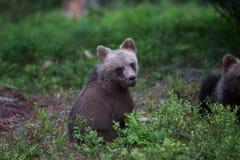 Новичок бурого медведя в финском лесе Стоковые Изображения