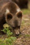 Новичок бурого медведя в финском лесе Стоковая Фотография