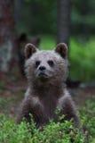 Новичок бурого медведя в финском лесе Стоковое Изображение