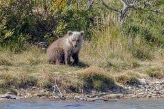 Новичок бурого медведя на Аляске Katmai Стоковые Изображения