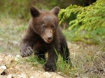 Новичок бурого медведя Стоковые Фото