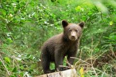 Новичок бурого медведя Стоковое Изображение RF