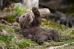Новичок бурого медведя Стоковая Фотография