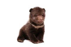 Новичок бурого медведя (arctos Ursus), на белизне Стоковые Фото