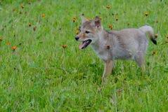 Новичок волка младенца в поле wildflowers Стоковое фото RF