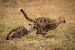 Новичок гепарда гоня другие на травянистой равнине стоковые изображения rf