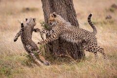 Новичок гепарда гоня другой круглый ствол дерева стоковое изображение rf
