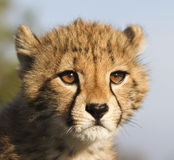 новичок гепарда Стоковые Фото