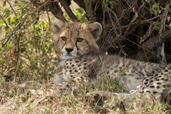 Новичок гепарда в Masai Mara Стоковое Изображение RF