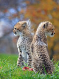 новичок гепарда сфотографировал serngeti Танзанию стоковая фотография rf