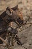Новичок гиены Стоковая Фотография RF