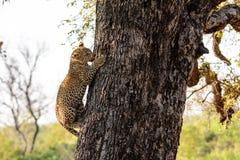 Новичок леопарда взбираясь вниз дерево Стоковые Изображения RF