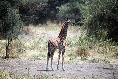 Новичок жирафа Танзании Стоковое фото RF
