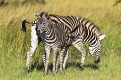 Новичок икры матери зебры Стоковые Фото