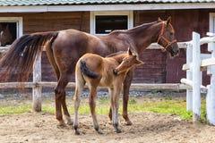 Новичок и его лошадь матери в конюшнях стоковое изображение