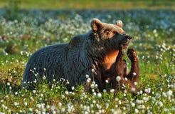Новичок и она-медведь медведя стоковые изображения