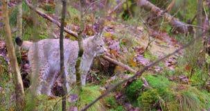 Новичок кота рыся Playfull молодой в лесе сток-видео