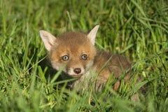 Новичок красной лисицы Стоковое Изображение