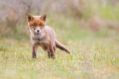 Новичок красной лисицы стоковое изображение rf