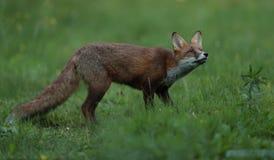 Новичок красной лисицы Стоковое Фото