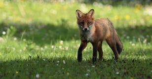 Новичок красной лисицы Стоковые Фото