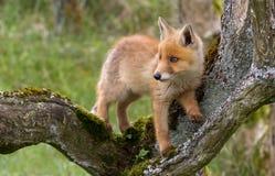 Новичок красной лисы стоковое фото rf