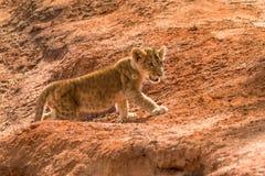 Новичок льва в саванне стоковое изображение rf