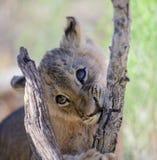 Новичок льва жуя на ветви стоковые фотографии rf