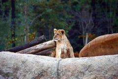 Новичок льва на большом камне стоковые изображения