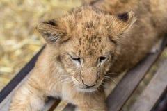 Новичок льва на стенде стоковые изображения rf