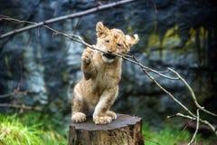 Новичок льва стоковые изображения