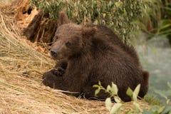 Новичок медведя поворачивая к камере около реки Стоковая Фотография RF